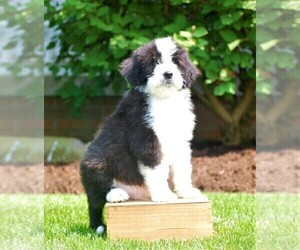 Aussie-Poo-Aussiedoodle Mix Puppy for Sale in RITTMAN, Ohio USA
