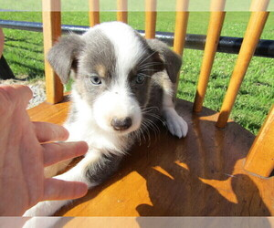 Australian Shepherd Puppy for sale in HUDSON, MI, USA