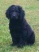 Labradoodle Puppy For Sale in CARBON, IN,