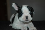 French Bulldog Puppy For Sale in CENTRAL FALLS, RI, USA