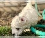 Puppy 2 Coton de Tulear