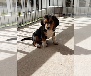 Beagle Puppy for sale in BRUNSWICK, GA, USA