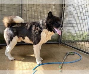 Akita Puppy for sale in UNION CITY, GA, USA