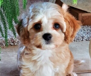 Cavalier King Charles Spaniel Puppy for Sale in DOON, Iowa USA