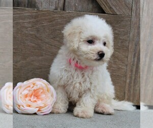 Bichon Frise Puppy for sale in KINZERS, PA, USA