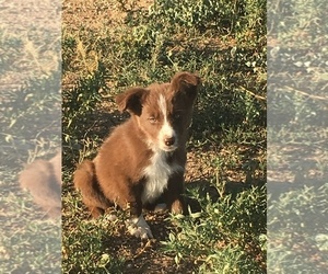 Border Collie Puppy for Sale in WELLINGTON, Colorado USA