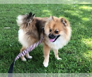 Pomeranian Puppy for Sale in CLAY, Pennsylvania USA