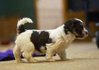 Havanese Puppy For Sale in MANTORVILLE, MN