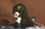 Cocker Spaniel Puppy For Sale in GOODYEAR, AZ, USA