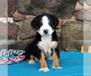 Greater Swiss Mountain Dog Puppy for sale in MANHEIM, PA, USA
