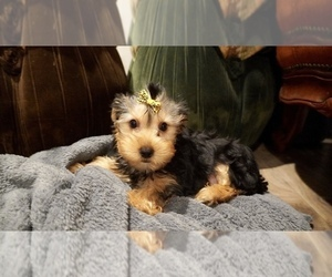 Yorkshire Terrier Dog for Adoption in LOS ANGELES, California USA