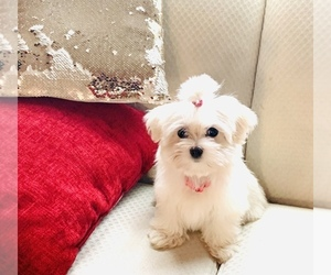 Maltese Puppy for sale in CARY, NC, USA