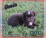 Goose Toy or Small Mini Red Tri Male Aussie