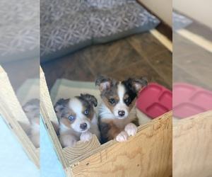 Australian Shepherd Puppy for sale in DRACUT, MA, USA