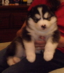 Malamute puppies for sale  New York