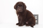 Newfoundland Puppy For Sale in NAPLES, FL,