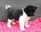 Akc Akita Puppies