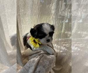 ShiChi Puppy for sale in CLEVELAND, OH, USA