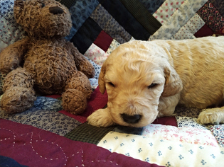 Adorable Goldendoodles  Non shedding F1B