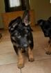 Small #6 German Shepherd Dog