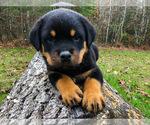 Small #13 Rottweiler
