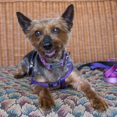 Myrtle - Yorkshire Terrier Yorkie / Silky Terrier Dog For Adoption