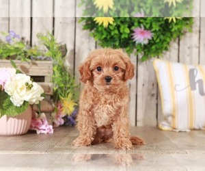 Maltipoo Puppy for sale in MOUNT VERNON, OH, USA