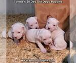 Small #30 Dogo Argentino