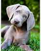 Weimaraner Puppy For Sale in SCOTTSDALE, AZ