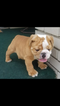 English Bulldogge Puppy For Sale in MAPLE HEIGHTS, OH