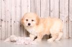 Garry Male Poochon Puppy