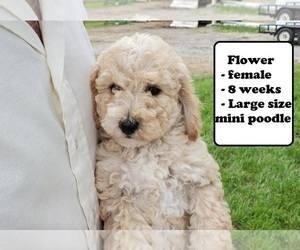 Poodle (Miniature) Puppy for sale in CLARKRANGE, TN, USA