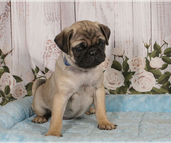 Medium Photo #1 Pug Puppy For Sale in PENNS CREEK, PA, USA
