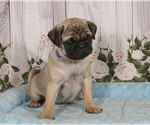 Small Photo #1 Pug Puppy For Sale in PENNS CREEK, PA, USA