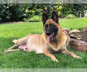 Belgian Malinois Puppy for sale in CEDAR LANE, PA, USA