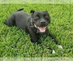 Small #2 Staffordshire Bull Terrier