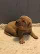 Labrador Retriever Puppy For Sale in PARIS, Missouri,