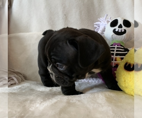 Medium Photo #13 French Bulldog Puppy For Sale in JOHNS ISLAND, SC, USA