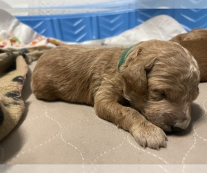 Goldendoodle-Poodle (Miniature) Mix Dog for Adoption in HIALEAH, Florida USA