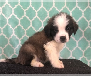 Saint Bernard Puppy for Sale in AURORA, Colorado USA