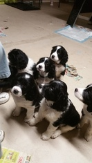 English Springer Spaniel Puppy For Sale in PARKER, CO, USA