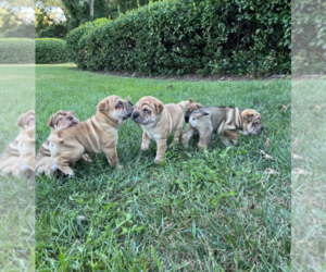 Chinese Shar-Pei Puppy for sale in ARLINGTON, VA, USA