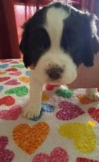 English Springer Spaniel Puppy For Sale in RINER, VA