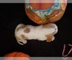 Small #25 Basset Hound