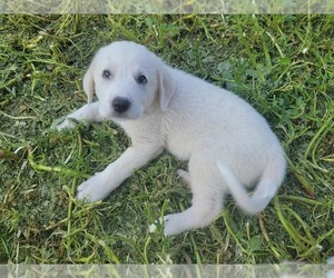 Great Pyrenees Puppy for sale in ABILENE, TX, USA