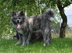 Akita Puppy For Sale in CITRUS HEIGHTS, CA, USA