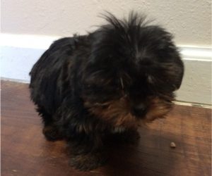 Yorkshire Terrier Puppy for Sale in SANTA FE, New Mexico USA