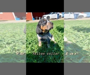 Bluetick Coonhound Puppy for Sale in BEEVILLE, Texas USA