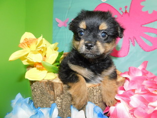 Yoranian Puppy For Sale in HAMMOND, IN, USA