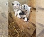 Small #23 Australian Shepherd
